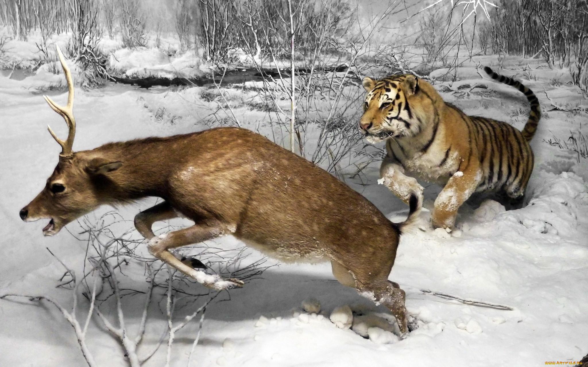 рисованное, животные, museo, di, storia, naturale, олень, тигр, animal, milano